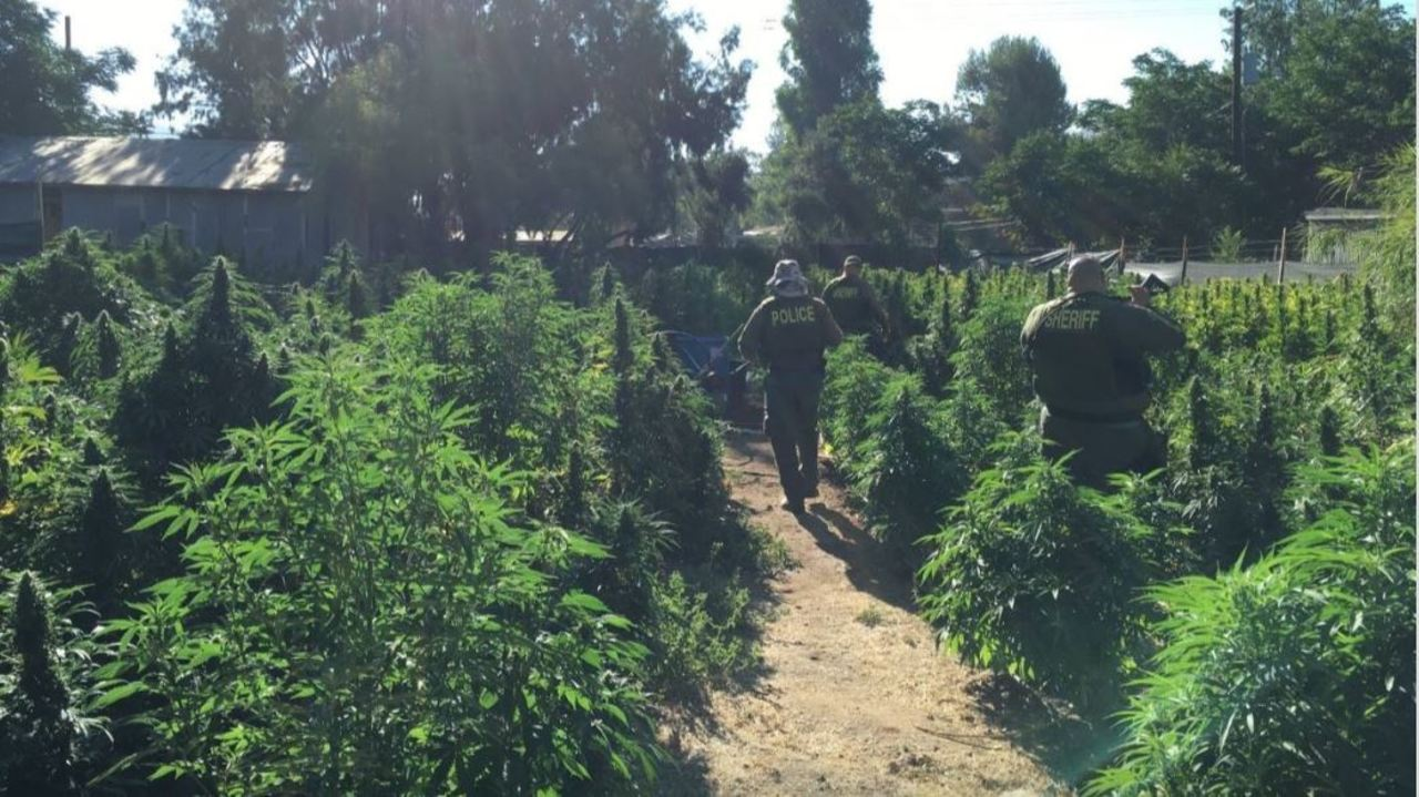 Massive marijuana bust in California, bales of cannabis put through the chipper